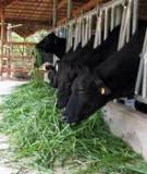 Sản xuất, dự trử và chế biến một số loại thức ăn cho bò sữa