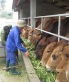 Phần 1 : Cẩm nang chăn nuôi bò sữa bò thịt
