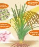 Chất điều hòa tăng trưởng thực vật