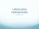 Lettuce grow  Hydroponically