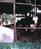 Milk Production on Smallholder Dairy  Cattle Farms in Southern Vietnam