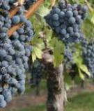 NATURAL ENDOWMENTS,  PRODUCTION TECHNOLOGIES AND  THE QUALITY OF WINES IN  BORDEAUX. IS IT POSSIBLE TO  PRODUCE WINE ON PAVED ROADS?
