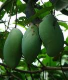 5 lợi ích sức khỏe mà trái xoài xanh mang lại