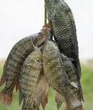 Phương pháp sản xuất giống cá rô phi