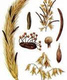 Cây lúa mạch
