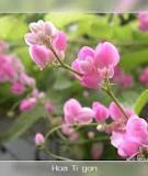 Những bông hoa ti-gôn
