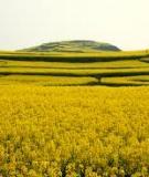Miền Đất Hoa Vàng