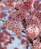 10 nơi ngắm hoa anh đào đẹp tại Nhật