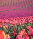 Cánh đồng Tulip lớn nhất châu Á chuẩn bị lễ hội