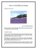 Susu và cánh đồng oải hương