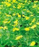 Những Bông Hoa Mướp
