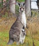 Thông Báo Kangaroo