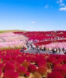 Thiên đường hoa ở công viên Hitachi Seaside, Nhật Bản