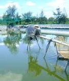 Kỹ thuật nuôi tôm nước lợ luân canh với trồng lú