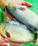 Kỹ thuật sản xuất giống cá rô đồng thương phẩm (Anabas testudineus Bloch)