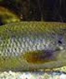 Những điểm cần lưu ý khi nuôi cá rô đồng