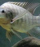 Những điều chú ý khi nuôi cá rô phi bằng thức ăn công nghiệp