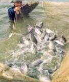 Nuôi cá rô phi an toàn