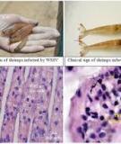 Bệnh đốm trắng trên tôm thẻ chân trắng-White spot disease