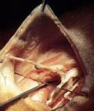 Bệnh u nang biểu bì ở mang của cá -Epitheliocystic
