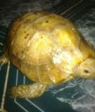 Các kỹ thuật nuôi rùa vàng