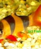 Cá heo hề - Clown loach