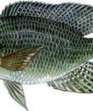 Cá rô phi vằn - Nile tilapia