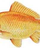 Cá vàng - Goldfish