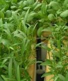 Phương pháp bón phân cho rau an toàn
