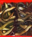 Bài giảng nuôi lươn - Tô Thất Chất