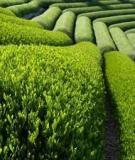 Các kỹ thuật thiết kế đồi chè trồng mới