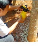 Kỹ thuật trồng cây gió bầu tạo trầm kỳ (Aquilaria Crassna Pierre ex Lecomte)