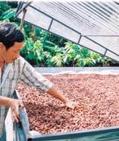 Sấy hạt cacao bằng năng lượng mặt trời
