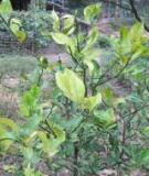 Xác định virus gây bệnh vàng lá trên cây tiêu