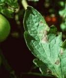 Bệnh do nấm Alternaria solani trên cà chua
