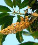 Bệnh đốm lá trên Xoài do nấm Pestalotia magiferae
