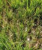 Bệnh lùn sọc đen hại Lúa