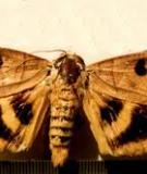 Ngài chích trái Rhytia hypermnestra
