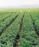 Chuẩn bị củ giống và trồng khoai tây