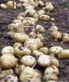Giống khoai tây Sinora