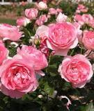 Kỹ thuật trồng hoa hồng