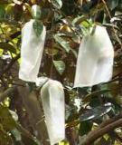 Kỹ thuật trồng và bón phân cho cây vú sữa