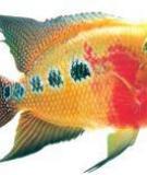 Chăm sóc cá La Hán khi có biểu hiện bất thường