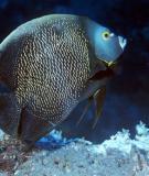 Cá cảnh biển: French Angelfish