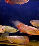 Cá Rồng: Vai trò của muối với bể cá