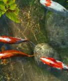 Cá Koi: loài cá thân thiện