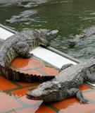 Kỹ thuật nuôi Cá Sấu - Cá sấu, giá trị và lợi ích