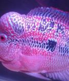 Kỹ thuật và kinh nghiệm nuôi cá la hán