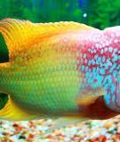 Cách lên màu cho cá la hán