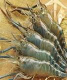 Luận văn: Kỹ thuật nuôi cá tra thương phẩm (Pangasianodon hypophthalmus) ở công ty cổ phần thủy sản Tô Châu tỉnh Đồng Tháp